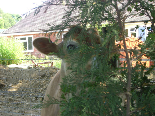 A not very well hidden cow