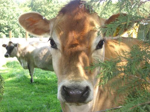 Unhidden cow