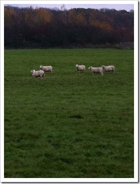 sheep-002